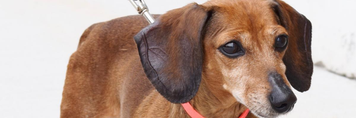 Before the Bridge Senior K9 Rescue – Rescuing Senior Dogs